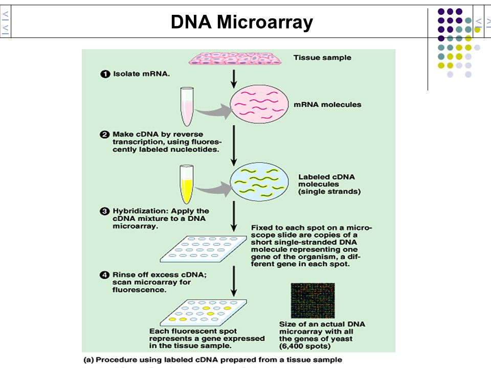 << DNA Microarray < >