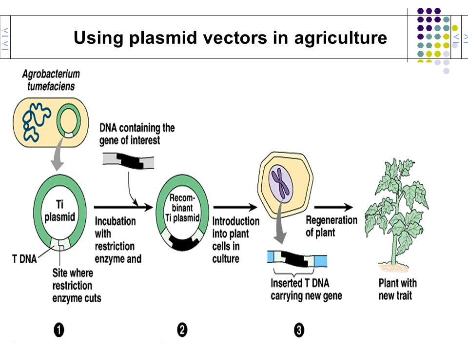 Using plasmid vectors in agriculture