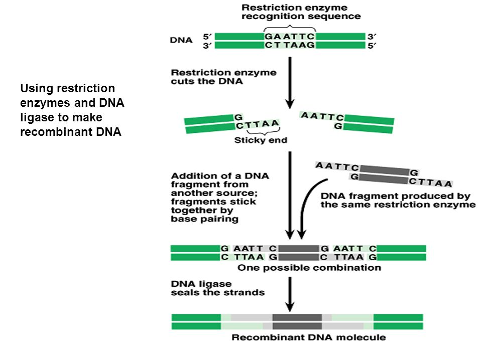 Using restriction enzymes and DNA ligase to make recombinant DNA