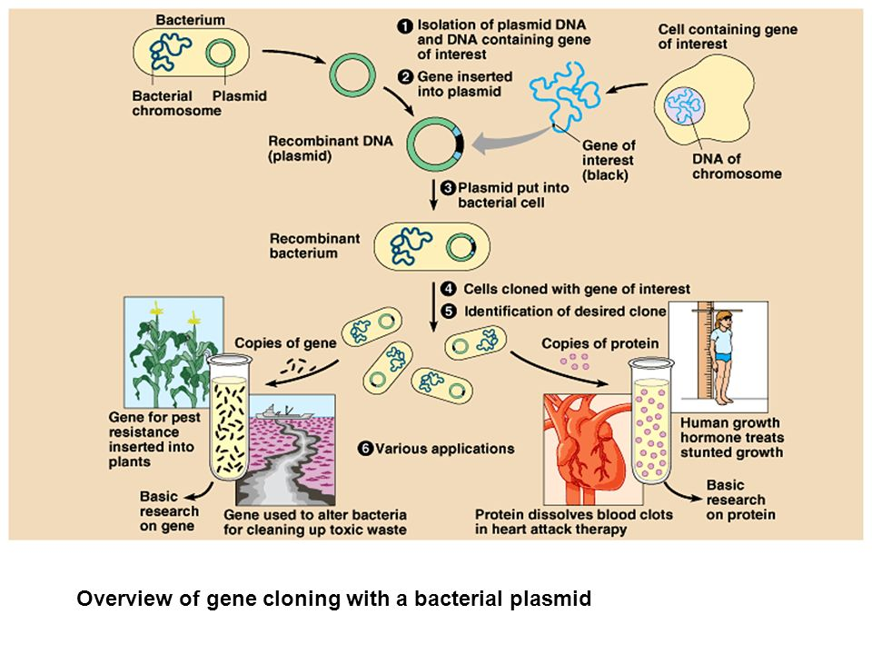 Overview of gene cloning with a bacterial plasmid