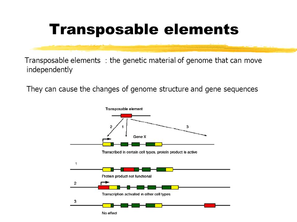 transposable dna elements Spersed repeats that resemble fossils of dna transposons, elements that move  by excision and reintegration in the genome, whereas previously characterized.