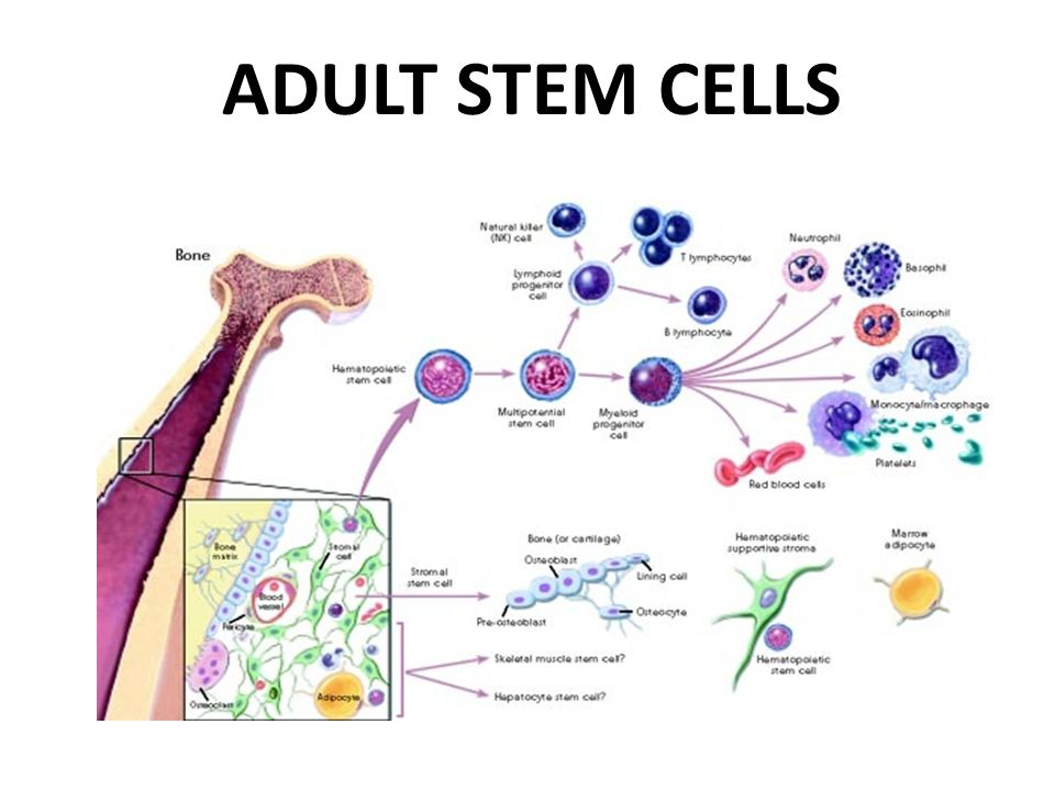 embryonic and adult stem cells essay This free health essay on essay: stem cells there are two different types of stem cells in mammals there are embryonic stem cells and adult stem cells embryonic.