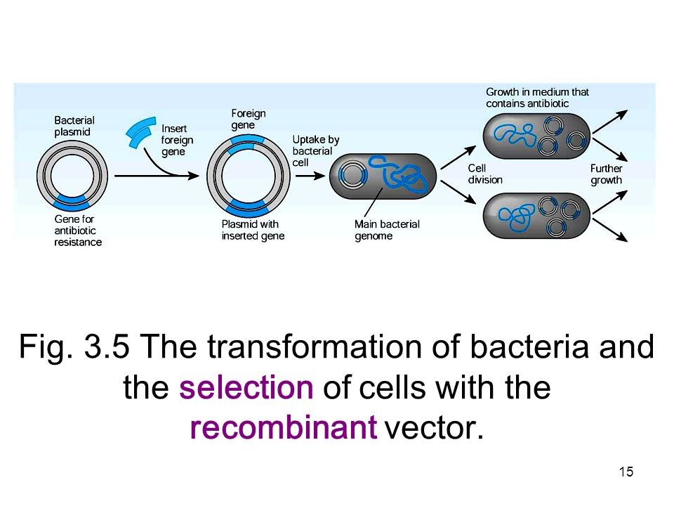 Fig. 3.5 The transformation of bacteria and the selection of cells with the