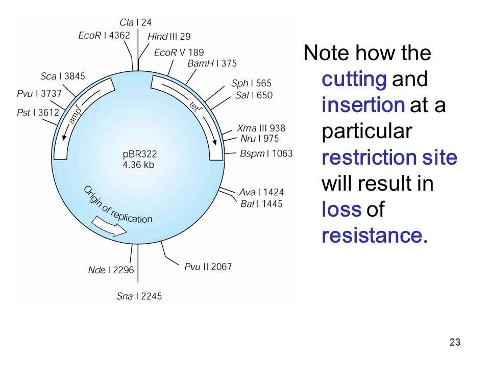 Note how the cutting and insertion at a particular restriction site will result in loss of resistance.