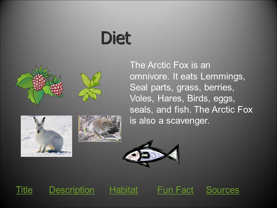 What is an Arctic fox's diet?