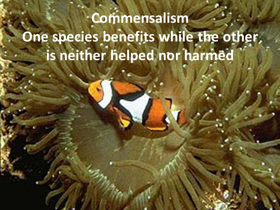 Commensalism One species benefits while the other is neither helped nor harmed
