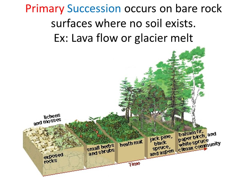 Primary Succession occurs on bare rock surfaces where no soil exists