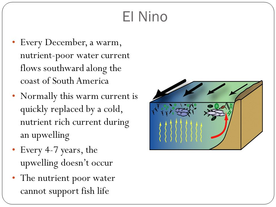 El Nino Every December, a warm, nutrient-poor water current flows southward along the coast of South America.