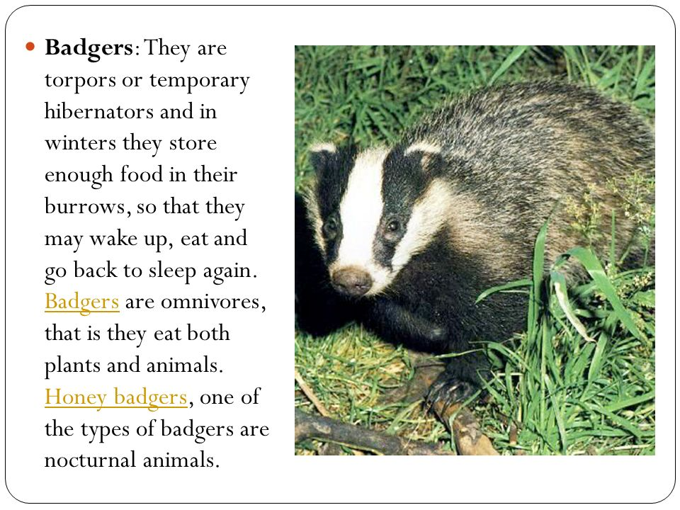 Badgers: They are torpors or temporary hibernators and in winters they store enough food in their burrows, so that they may wake up, eat and go back to sleep again.
