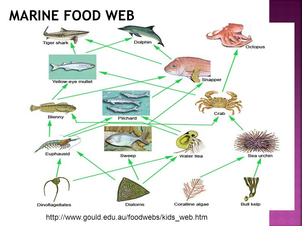 MARINE FOOD WEB