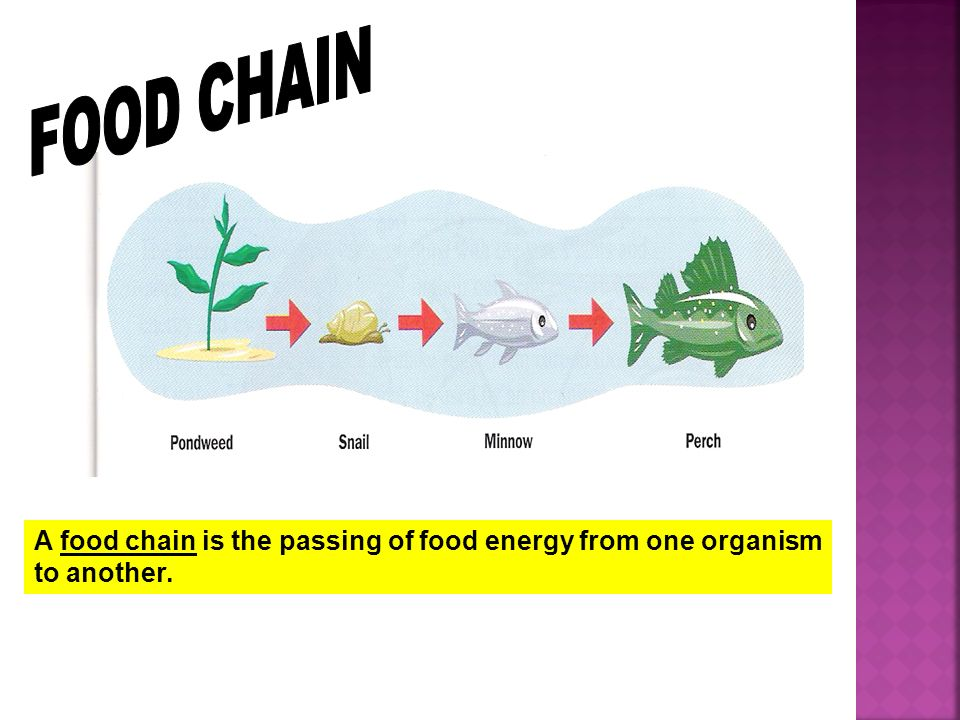 FOOD CHAIN A food chain is the passing of food energy from one organism to another.