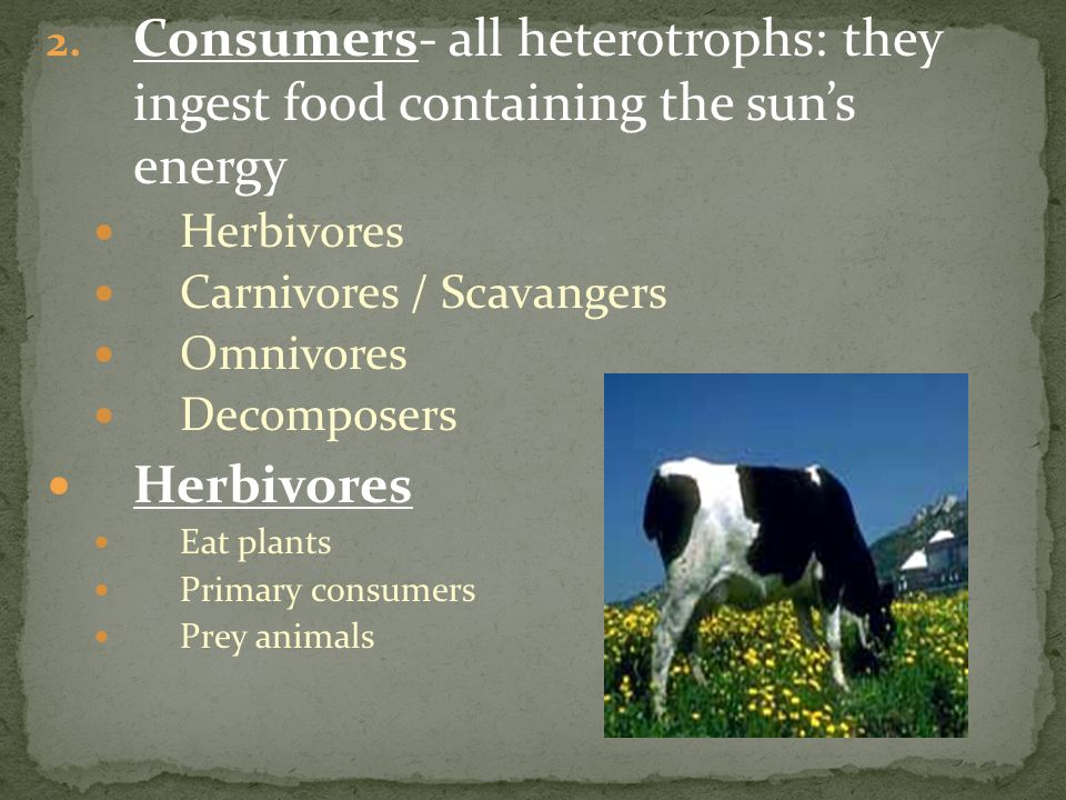 Consumers- all heterotrophs: they ingest food containing the sun's energy