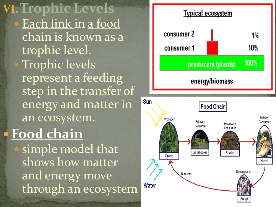 Trophic Levels Food chain