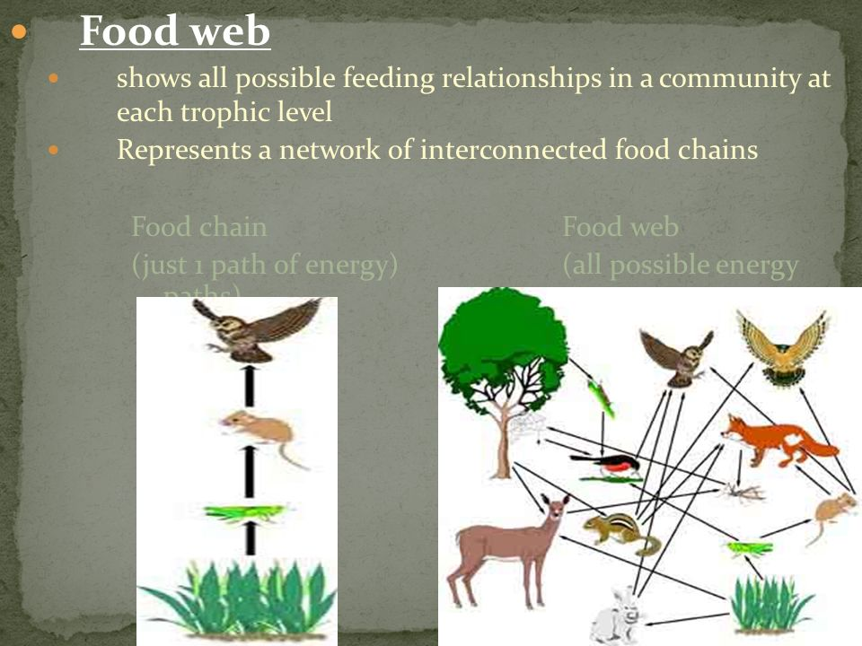 Food web shows all possible feeding relationships in a community at each trophic level. Represents a network of interconnected food chains.