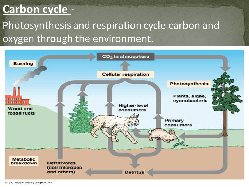 Carbon cycle - Photosynthesis and respiration cycle carbon and oxygen through the environment.