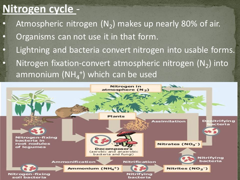 Nitrogen cycle - Atmospheric nitrogen (N2) makes up nearly 80% of air.