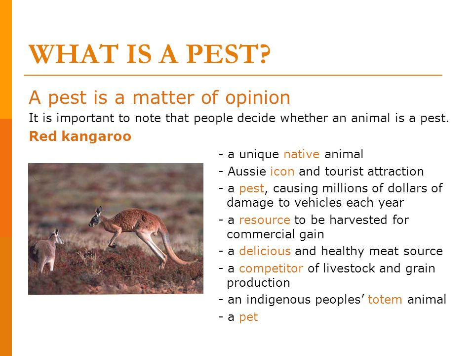 WHAT IS A PEST A pest is a matter of opinion Red kangaroo