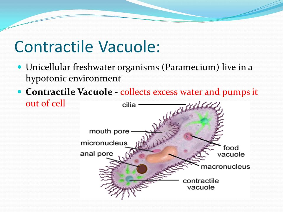 Cellular Transport. - ppt video online download Contractile Vacuole In A Cell