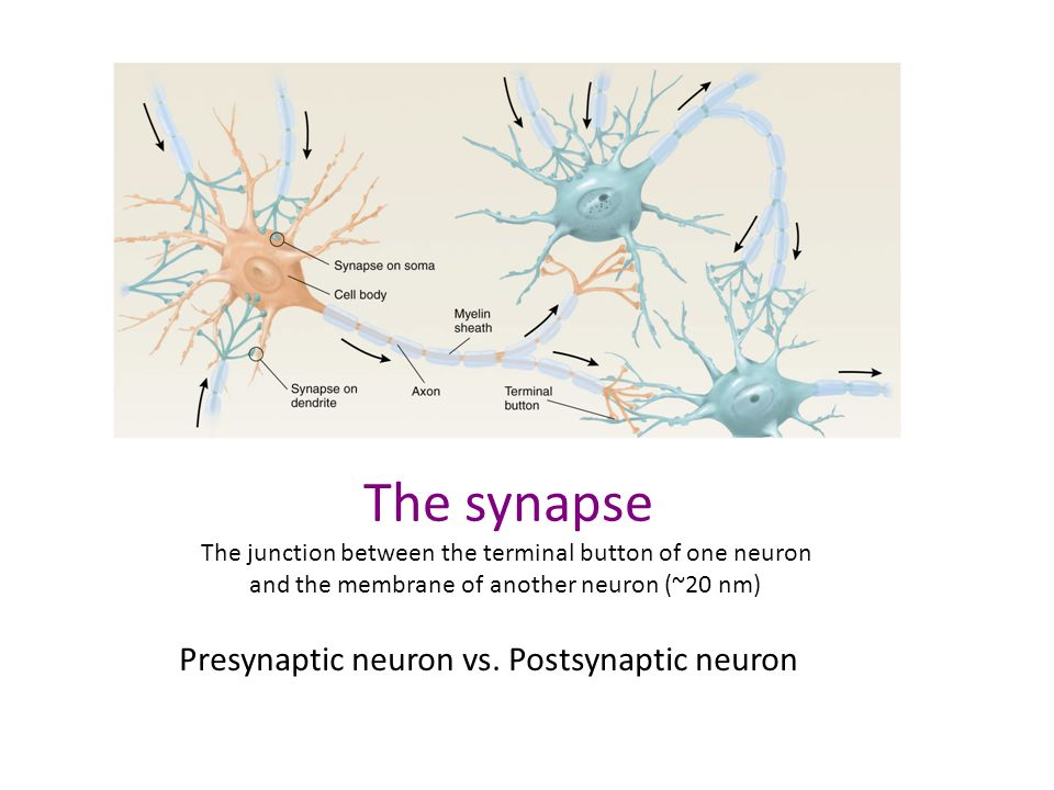 The synapse Presynaptic neuron vs. Postsynaptic neuron