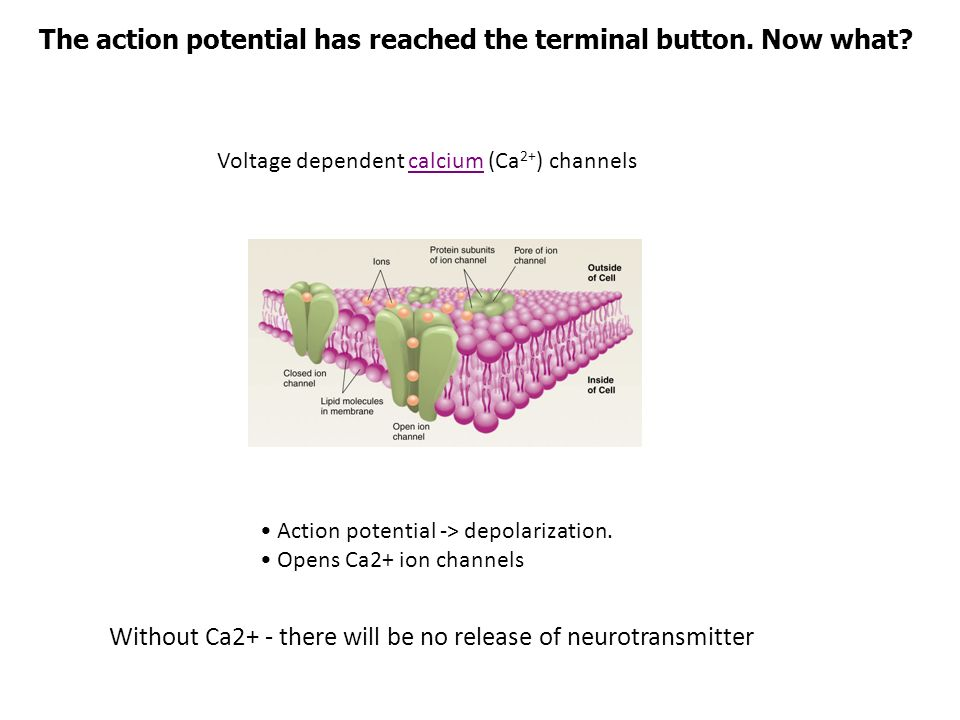 The action potential has reached the terminal button. Now what