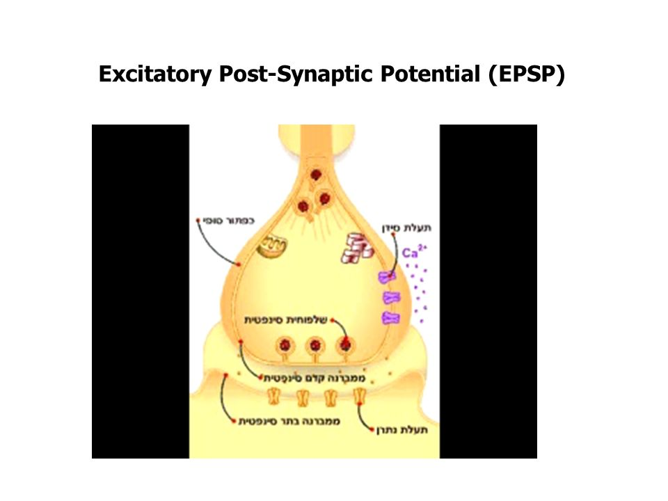 Excitatory Post-Synaptic Potential (EPSP)