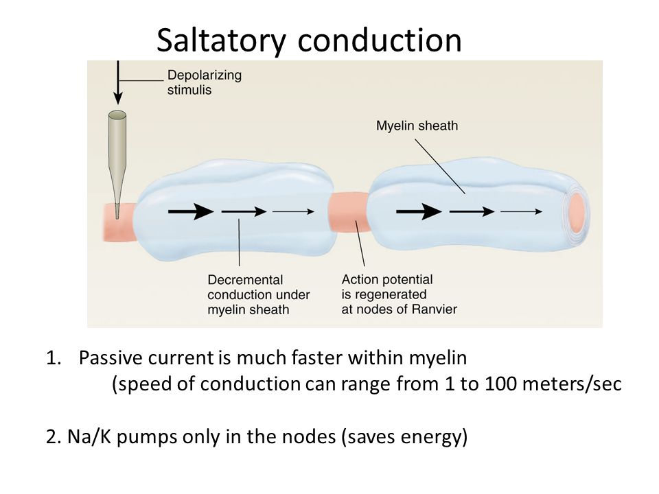 Saltatory conduction Passive current is much faster within myelin