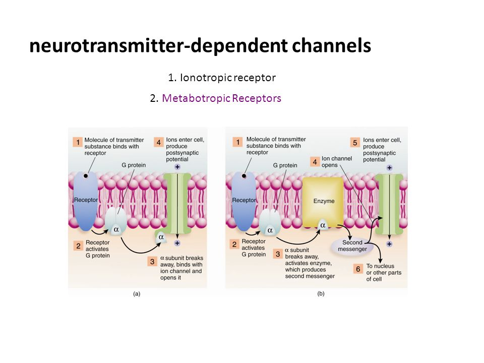 neurotransmitter-dependent channels