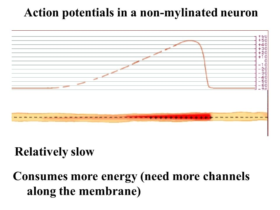 Action potentials in a non-mylinated neuron