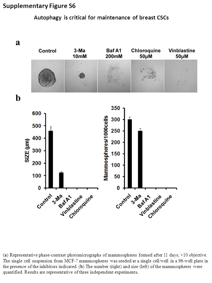 Autophagy is critical for maintenance of breast CSCs