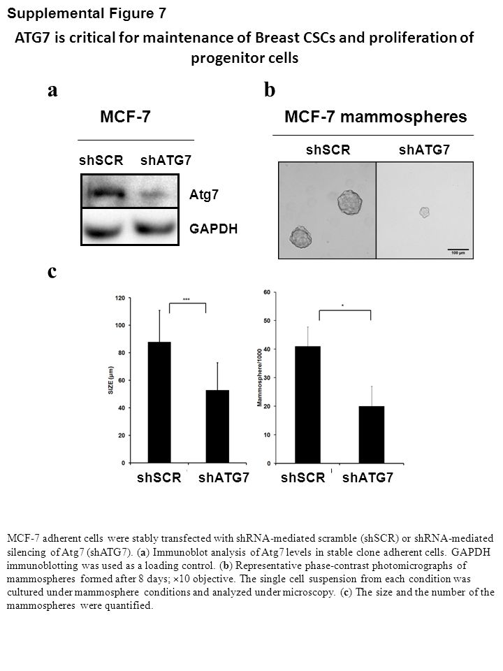 Supplemental Figure 7 ATG7 is critical for maintenance of Breast CSCs and proliferation of progenitor cells.