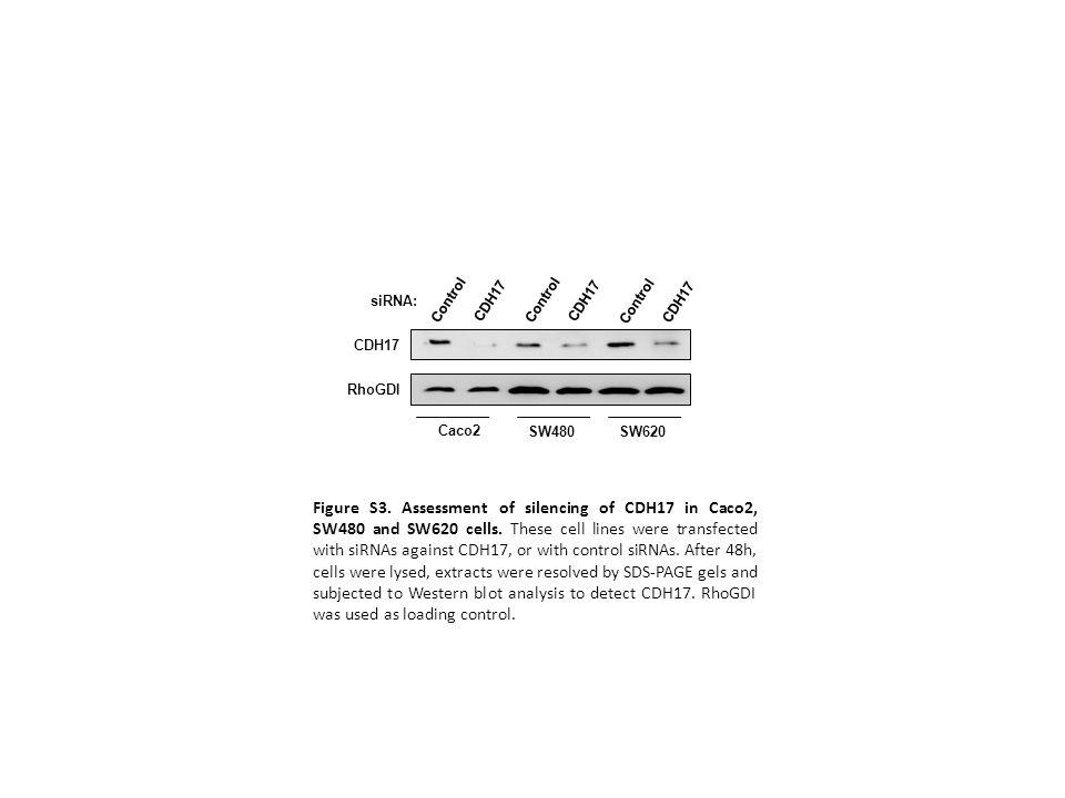 Control CDH17. Control. CDH17. Control. CDH17. siRNA: CDH17. RhoGDI. Caco2. SW480. SW620.