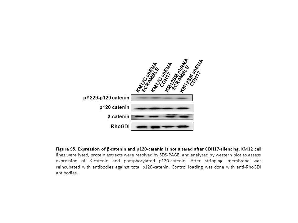 RhoGDI β-catenin. pY229-p120 catenin. KM12C shRNA SCRAMBLE. KM12C shRNA CDH17. KM12SM shRNA SCRAMBLE.