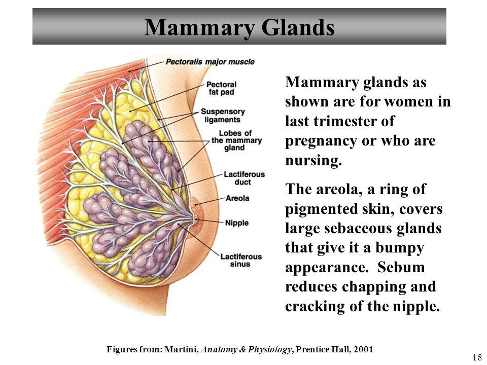 Mammary glands anatomy 9621236 - follow4more.info