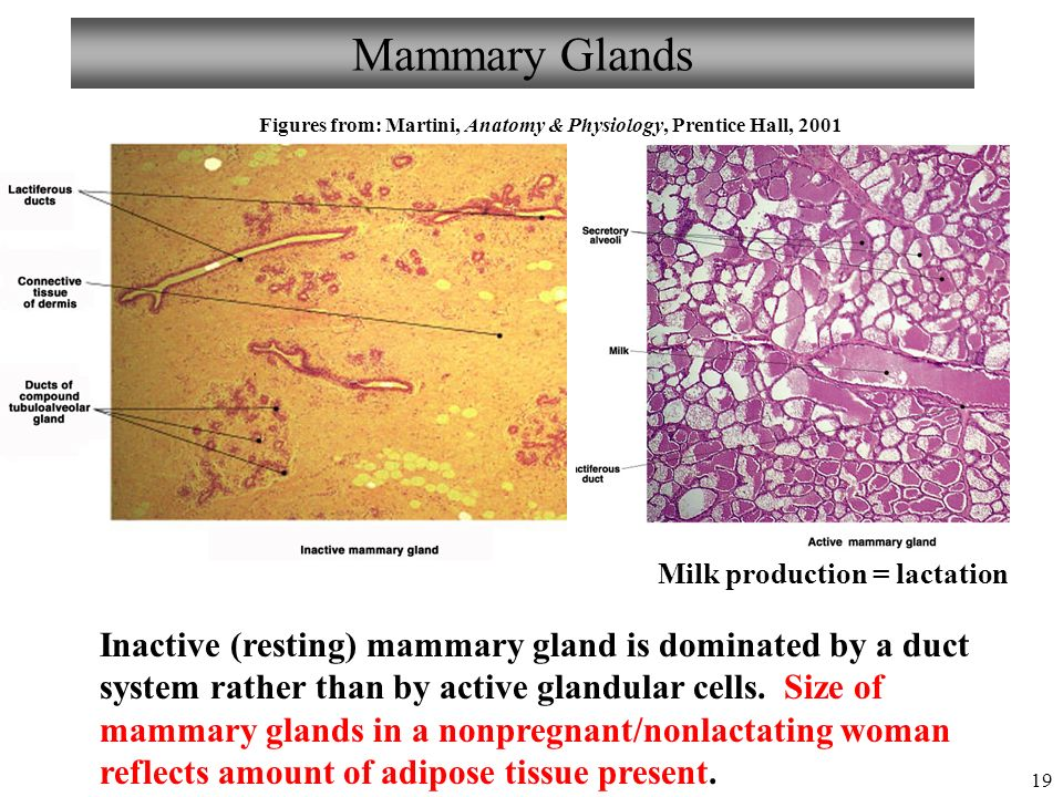 Mammary glands anatomy