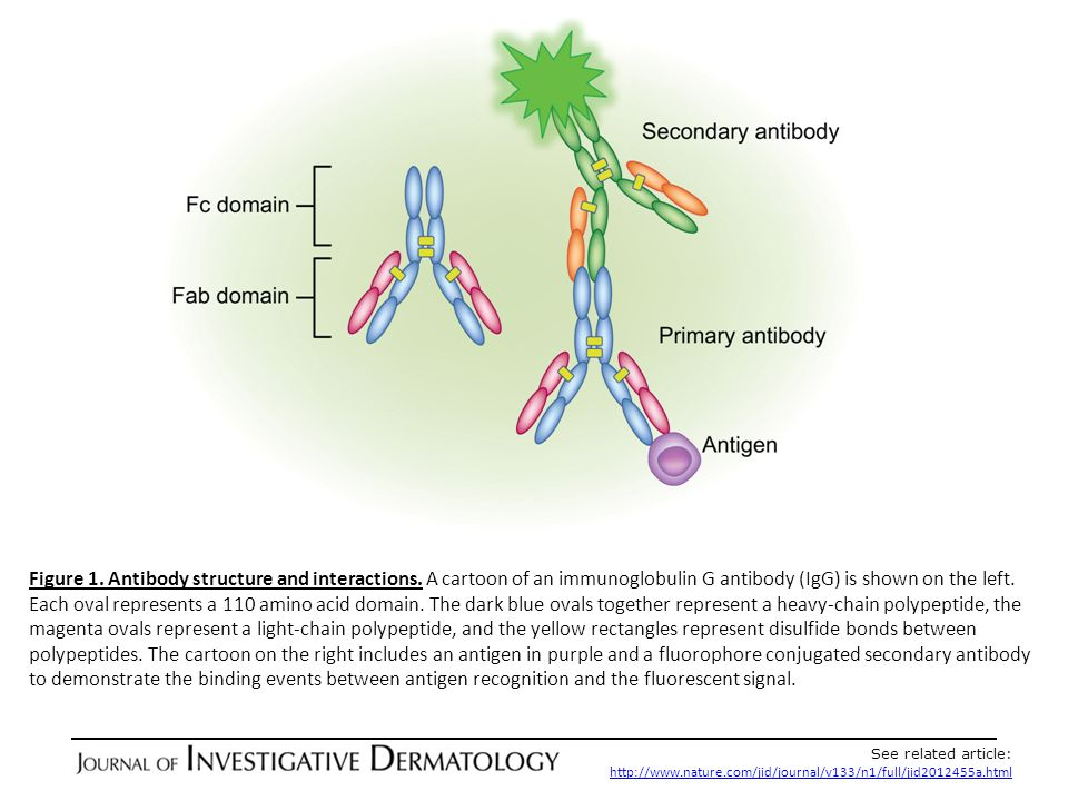 Figure 1. Antibody structure and interactions