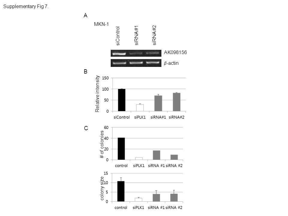 A B C Supplementary Fig 7. MKN-1 siControl siRNA #1 siRNA #2 AK098156