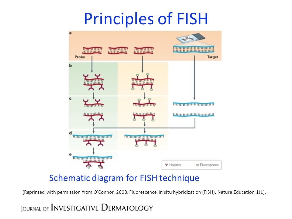Principles of FISH Schematic diagram for FISH technique