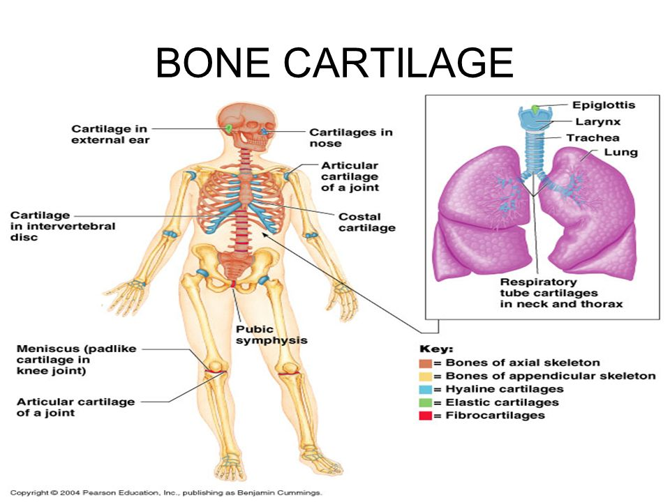 BONE CARTILAGE