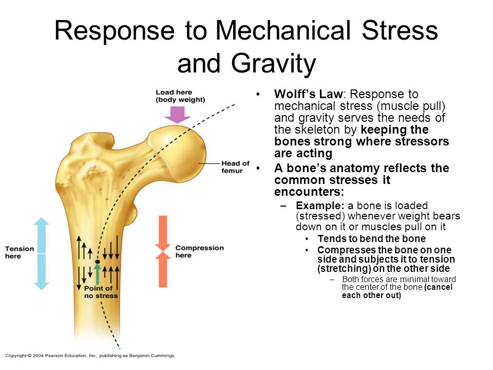 Response to Mechanical Stress and Gravity