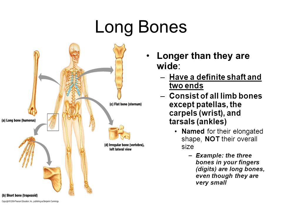 Long Bones Longer than they are wide:
