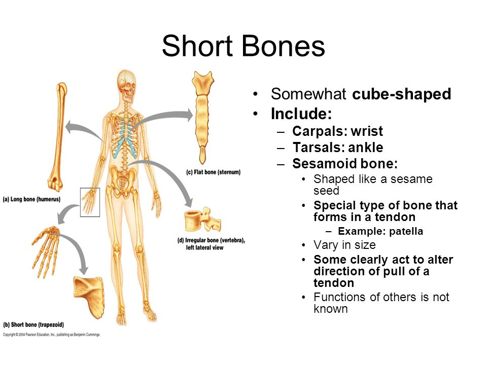 Short Bones Somewhat cube-shaped Include: Carpals: wrist