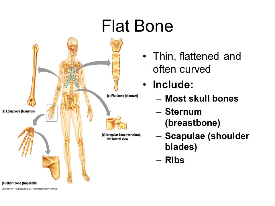 Flat Bone Thin, flattened and often curved Include: Most skull bones