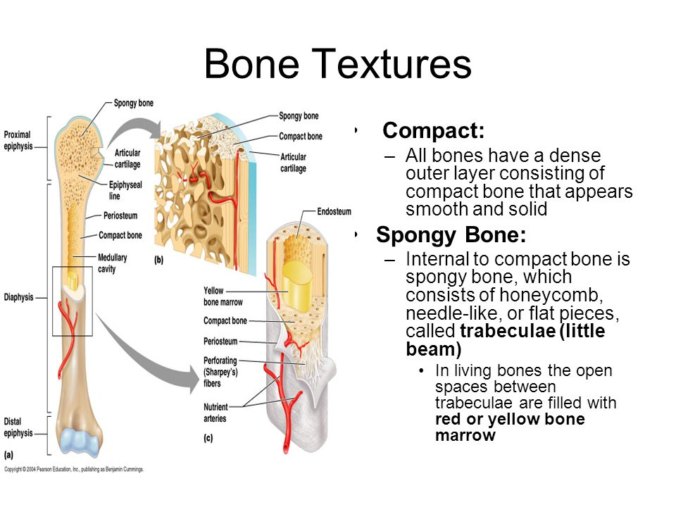 Bone Textures Compact: Spongy Bone: