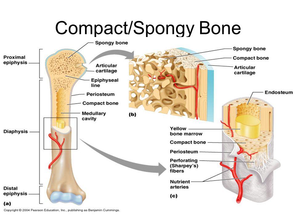 Compact/Spongy Bone