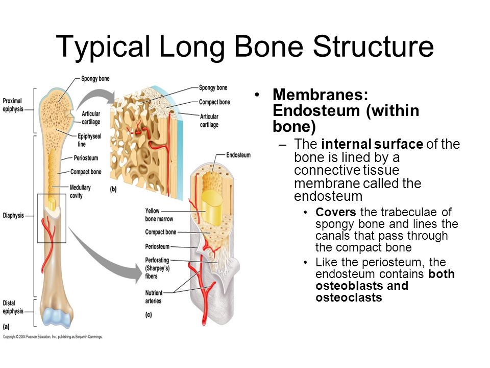 Typical Long Bone Structure