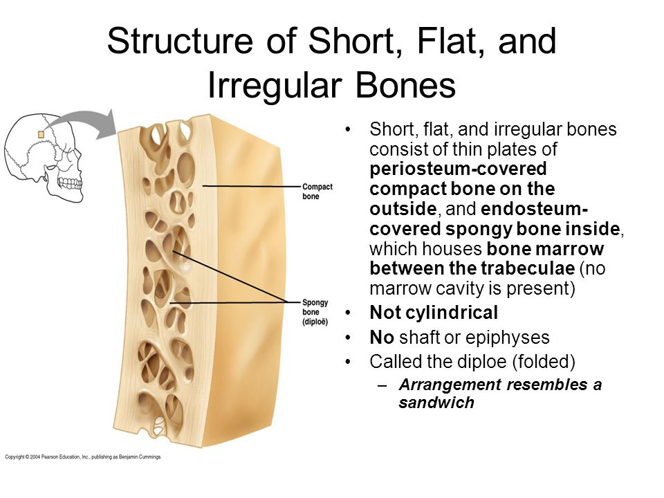 Structure of Short, Flat, and Irregular Bones
