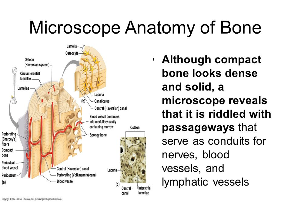 Microscope Anatomy of Bone