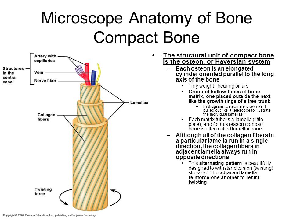 Microscope Anatomy of Bone Compact Bone
