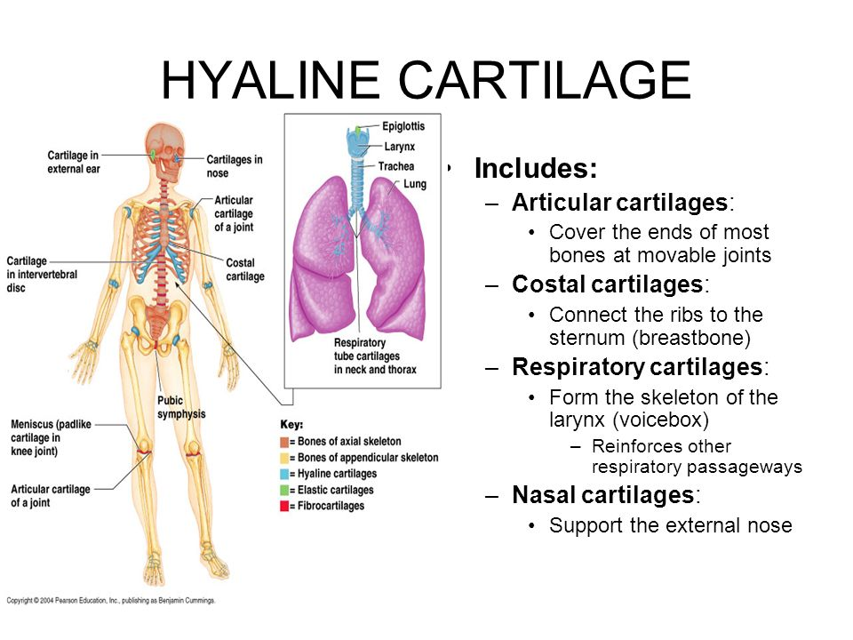 HYALINE CARTILAGE Includes: Articular cartilages: Costal cartilages: