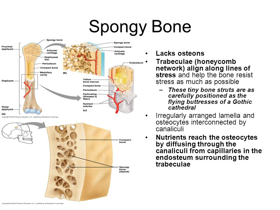Spongy Bone Lacks osteons